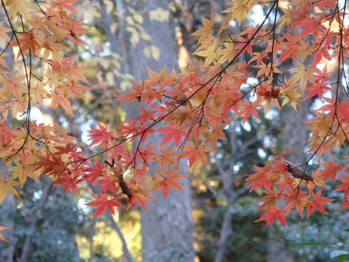 赤を通り越して黄色くなってる紅葉