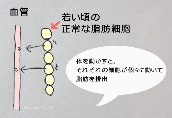 若い頃の正常な脂肪細胞(痩せる仕組み)