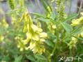 メリロート(植物)