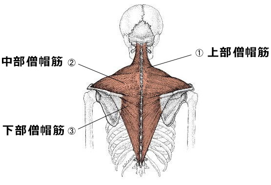 僧帽筋の図